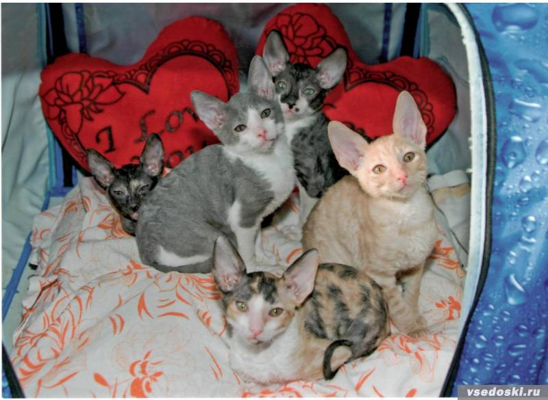 Cornish Rex kittens in a basket wallpaper