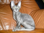 Cornish Rex on the couch