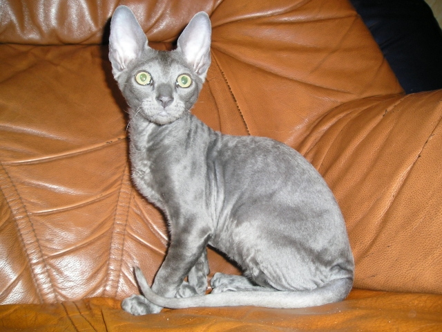 Cornish Rex on the couch wallpaper