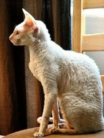 Cornish Rex side view