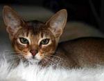 Симпатичный котенок Абиссинской кошки