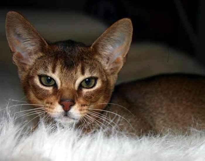 Симпатичный котенок Абиссинской кошки фото