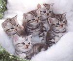 Симпатичные котята Американской короткошерстной кошки
