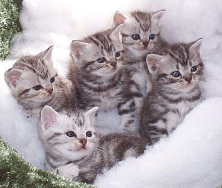 Cute American Shorthair kittens wallpaper