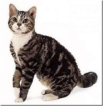 Симпатичная Американская жесткошерстная кошка фото