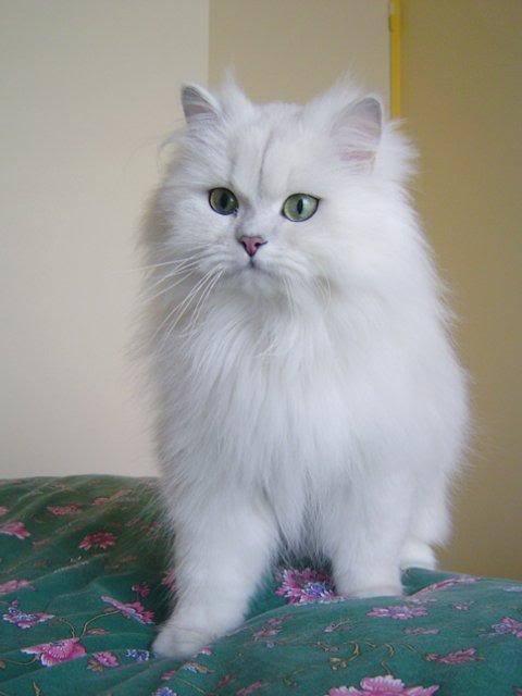 Симпатичная Азиатская полудлинная кошка фото