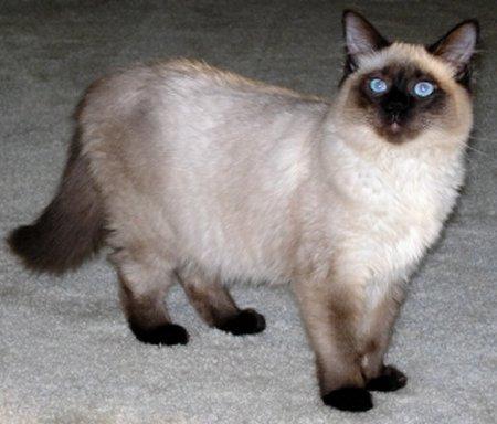 Симпатичная Балинезийская кошка фото
