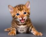 Симпатичный котенок Бенгальской кошки
