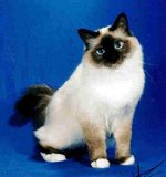 Cute Birman cat