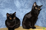 Cute Bombay cats