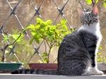 Милая Бразильская короткошерстная кошка
