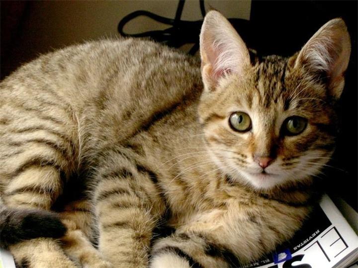 Милая Калифорнийская сияющая кошка фото