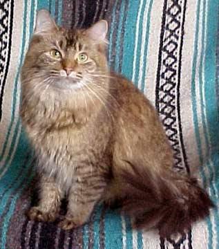 Симпатичный кот породы Шантильи-Тиффани фото