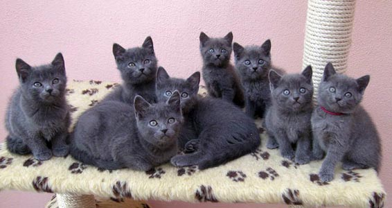 Cute Chartreux kittens wallpaper