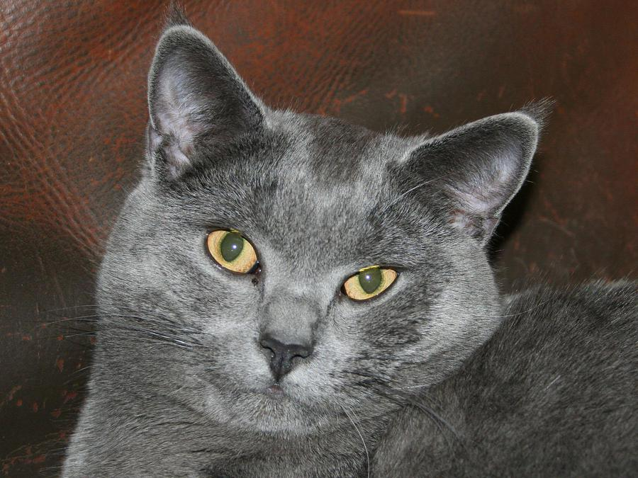 Cute Chartreux  wallpaper