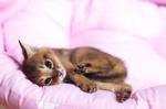 Милый котенок породы Чаузи