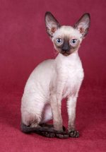Cute Cornish Rex