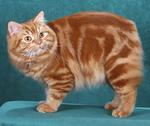 Симпатичный кот породы Кимрик