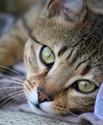 Cute Egyptian Mau