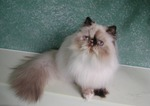 Cute Himalayan/Colorpoint Persian
