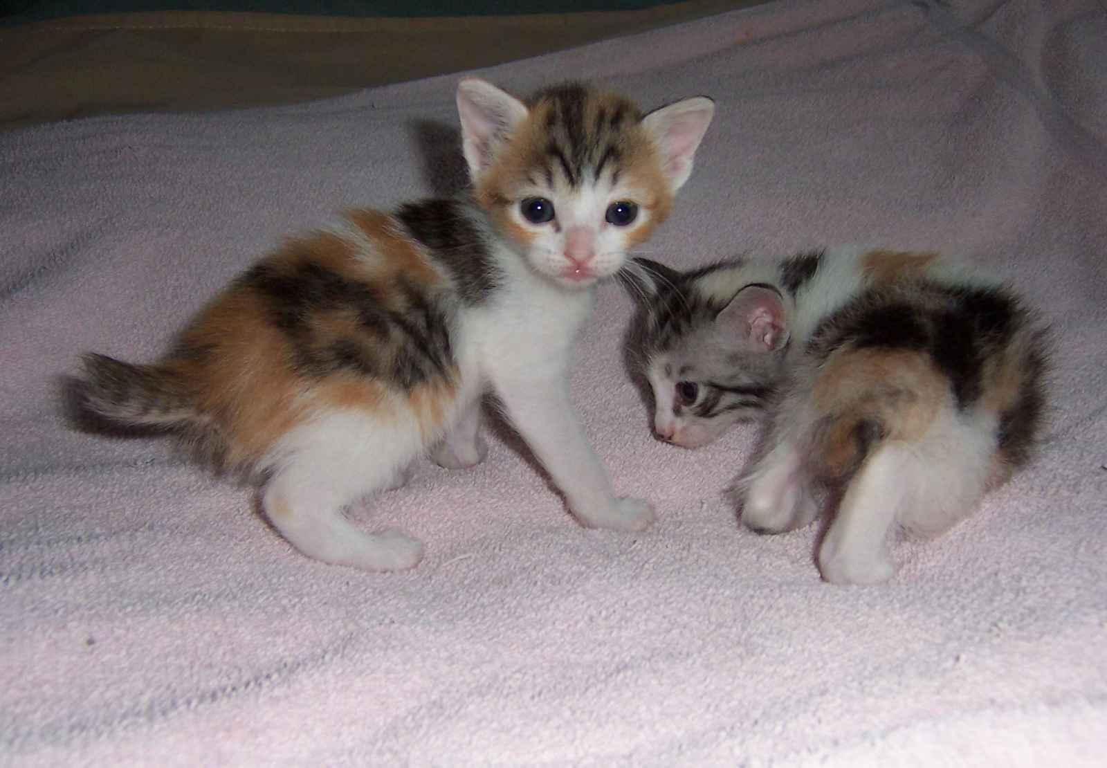 Cute Japanese Bobtail kittens photo and wallpaper Beautiful Cute