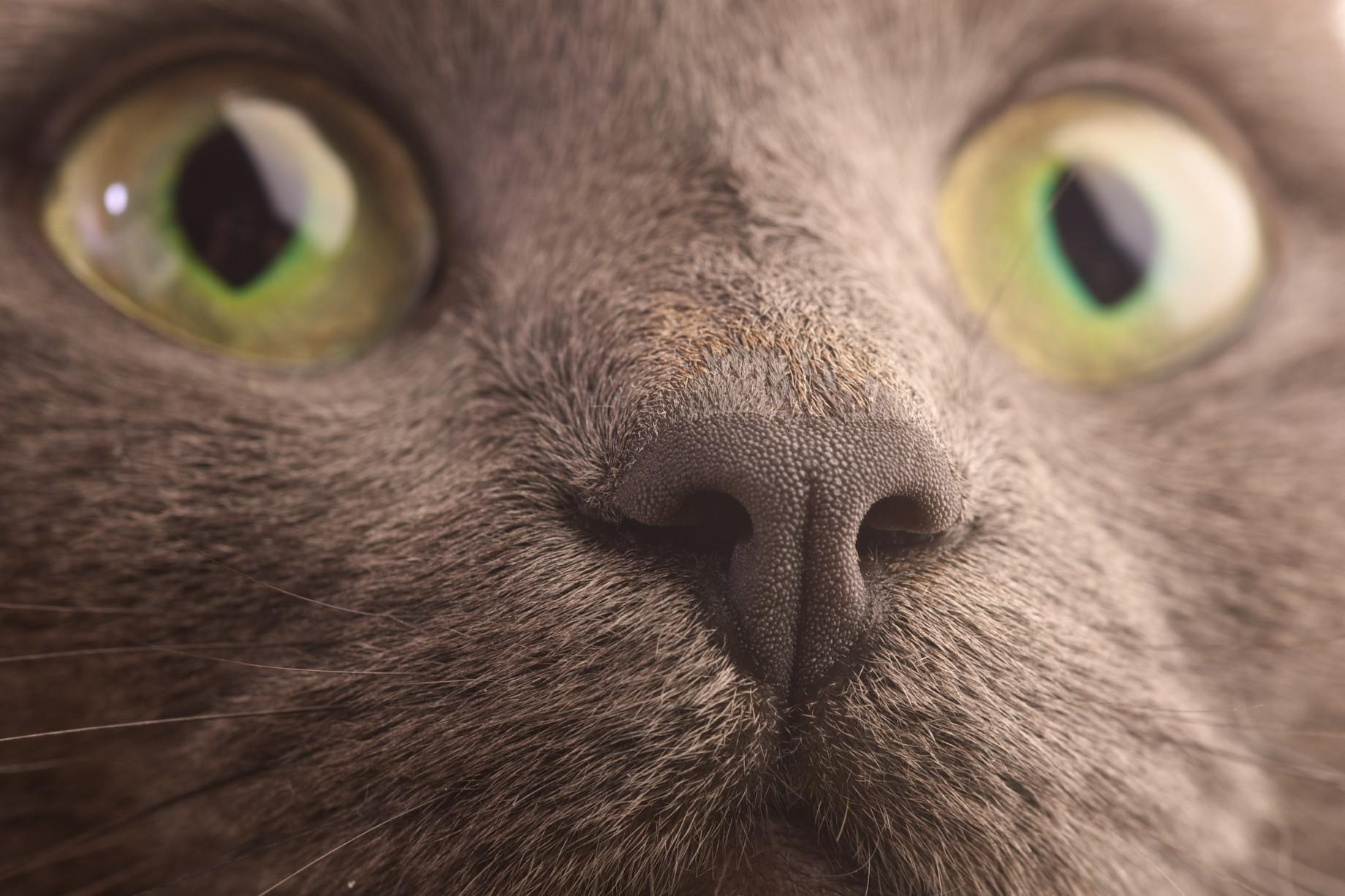 Cute Korat face  wallpaper
