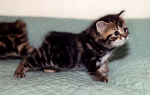 Cute Manx kitten  wallpaper