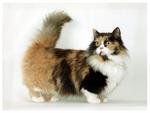 Симпатичный кот породы Манчкин