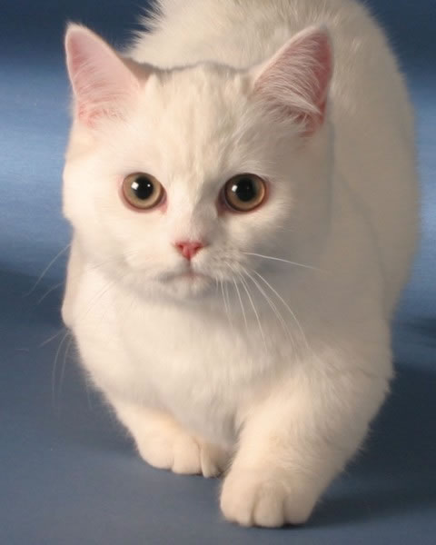 Симпатичная морда кота породы Наполеон фото