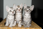 Cute Ocicat kittens