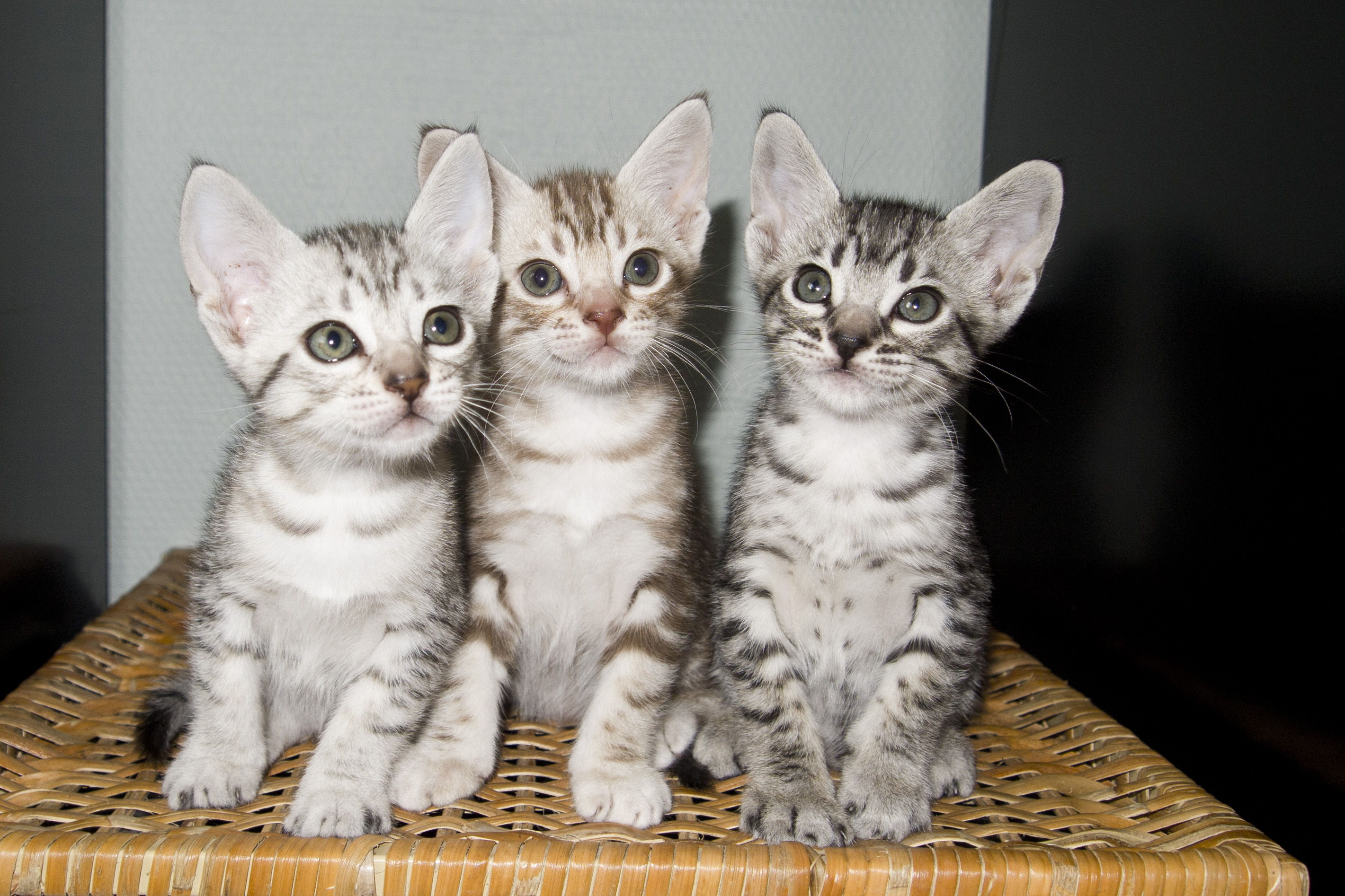 Cute Ocicat kittens wallpaper
