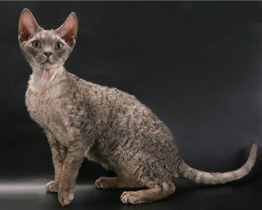 Симпатичный кот Орегон Рекс фото