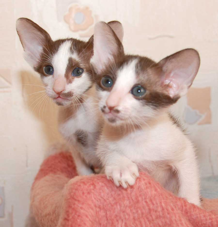 Cute Oriental Bicolor kittens wallpaper