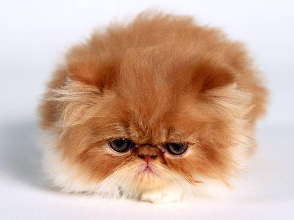Симпатичный Персидский  котенок фото
