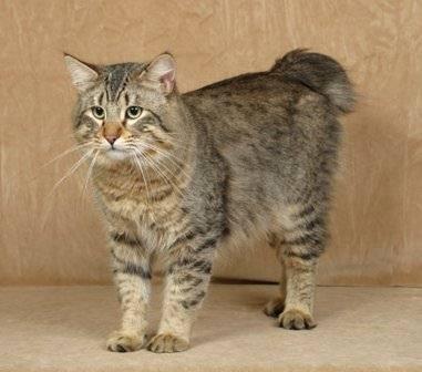 Симпатичный кот породы Пиксибоб фото