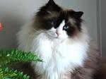Cute Ragdoll