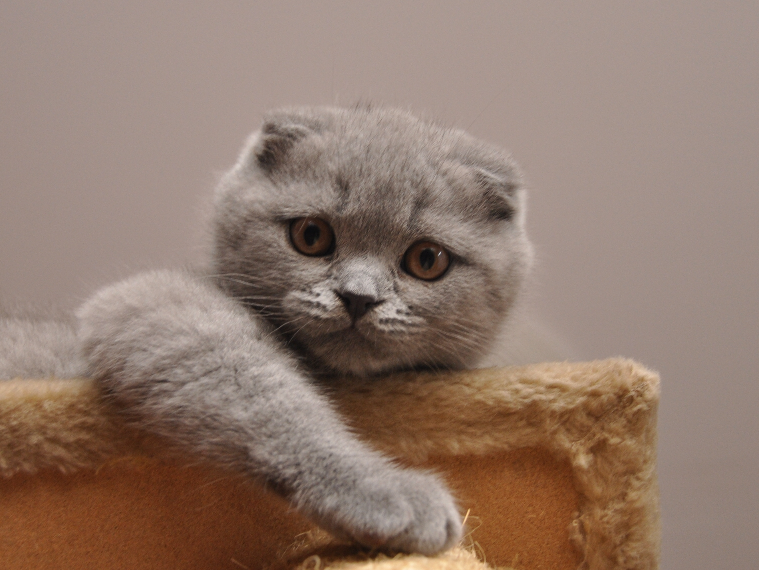 Cute Scottish Fold wallpaper