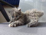 Cute Selkirk Rex kitten