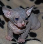 Cute Sphynx kitten