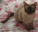 Cute Tonkinese cat