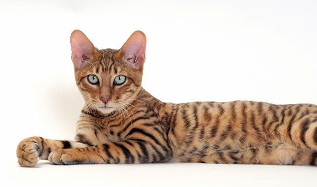Симпатичнй кот Тойгер фото