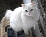 Cute Turkish Angora