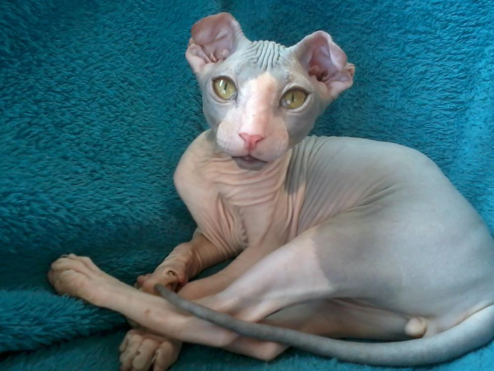Милый кот Украинский Левкой фото