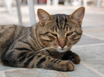 Кипрская кошка отдыхает