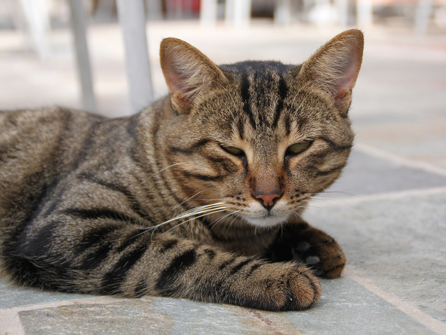 Cyprus cat resting wallpaper