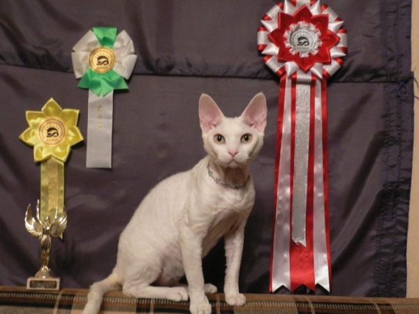 Devon Rex and honors wallpaper
