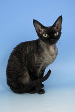 Devon Rex blue background