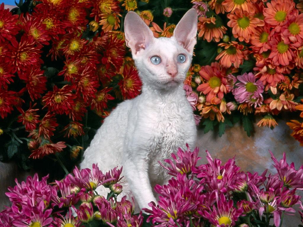 Devon Rex in flowers wallpaper