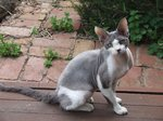 Devon Rex in nature