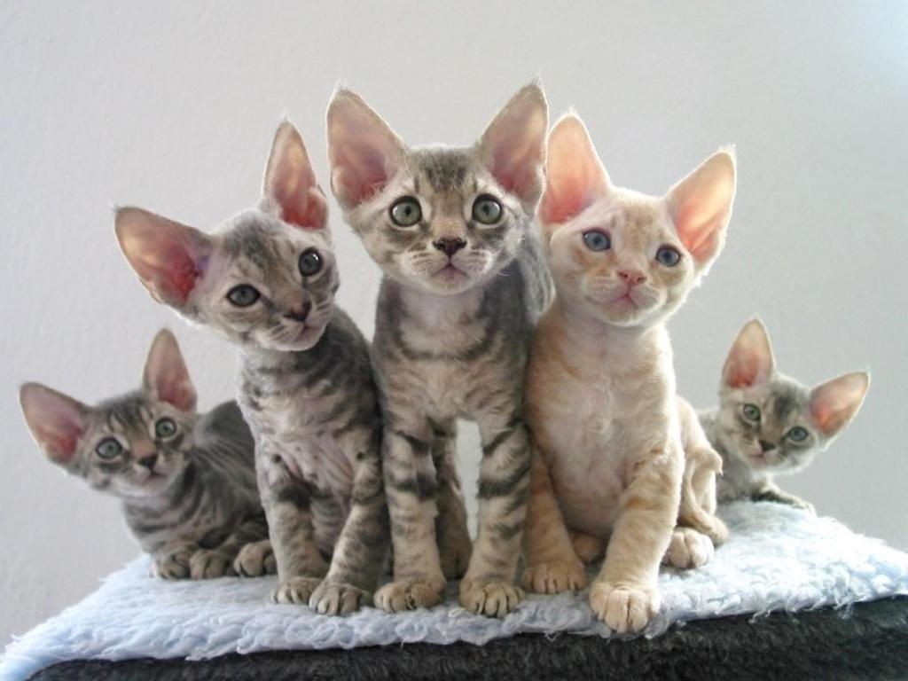 Devon Rex kittens wallpaper